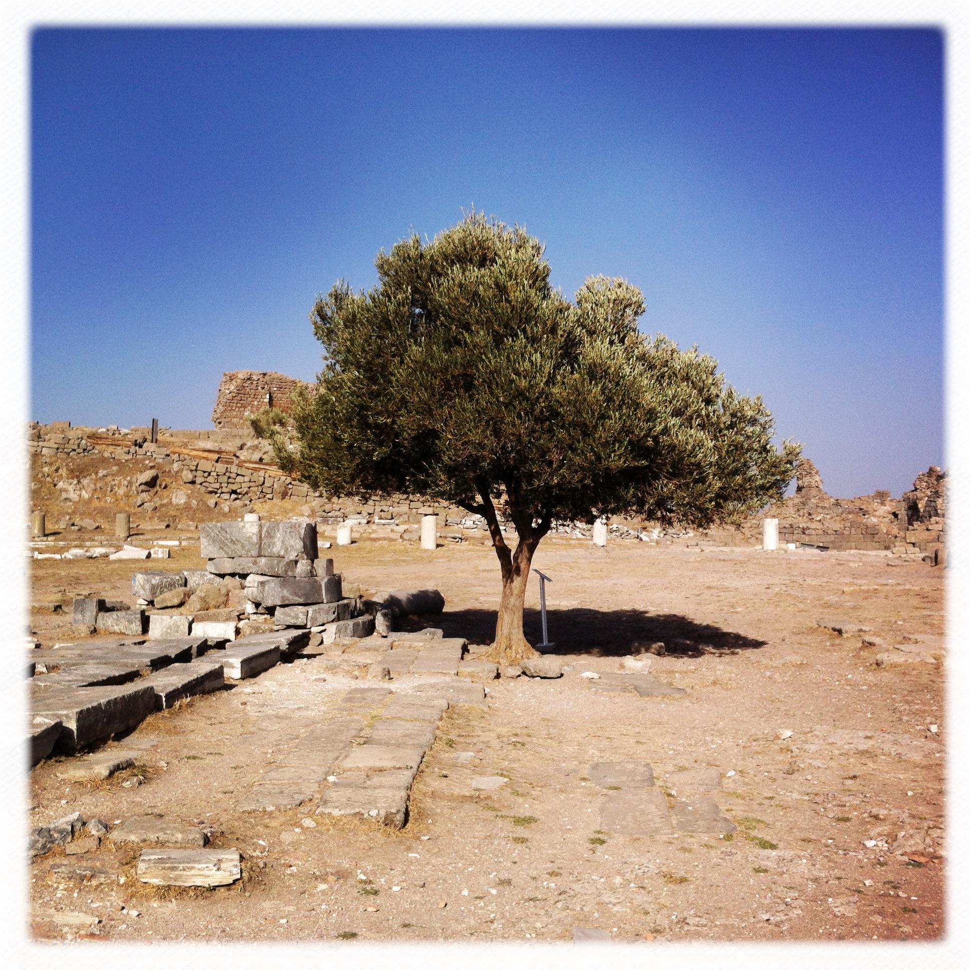 Alberello di Pergamo, primo piano
